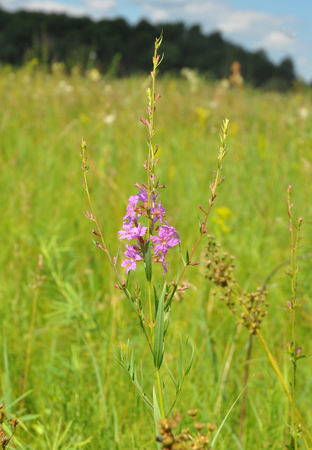 Chamerion angustifolium, commonly known as fireweed,  great willowherb,  rosebay willowherb, is a perennial herbaceous tea plant. Herbal tea.