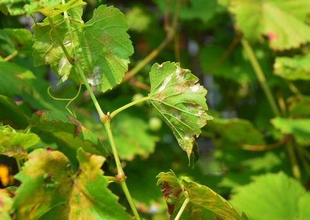 Grape Powdery Mildew. Powdery mildew is a fungal disease that affects a wide range of plants. Grapevine diseases.