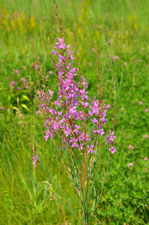 Chamerion angustifolium, commonly known in North America as fireweed Stock Photo