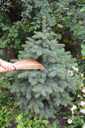 Get rid of spider mites in pine trees with broom.  Spiders Web  Removal Evergreen. Stock Photo - 86897024
