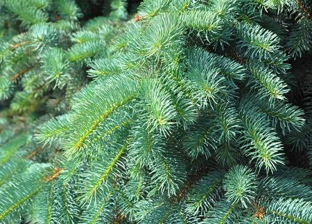 christmas tree blue spruce branches on a textured background blue spruce green spruce - Blue Spruce Artificial Christmas Tree