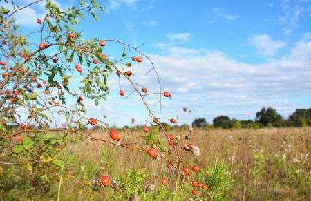 Red rose hips fruit. Herbal Rosehip for Tea.