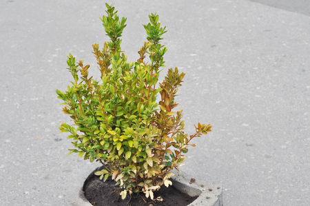 Boxwood Diseases. Boxwood Problems – Reasons For Boxwood Turning Yellow Or Brown. Identifying Diseases In Buxus