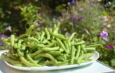 snap bean: Green beans casserole, also known as string beans, or snap beans textured background. Fresh Green Bean Recipes.