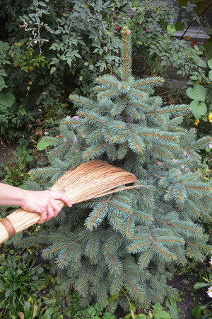 Get rid of spider mites in blue spruce trees with broom. Spiders Web Removal Evergreen. Stock Photo