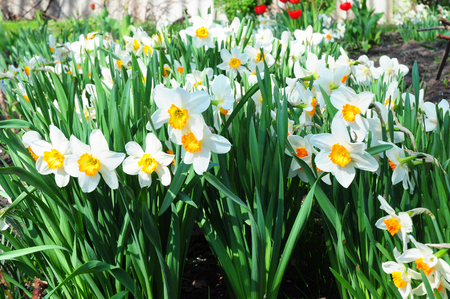 White narcissus in a group growing in a garden flowerbed. Growing White Daffodil Flowers. Flower bed of Daffodils growing on a Daffodils garden