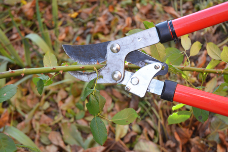 Rose pruning. Gardener Prune Climbing Roses. How to Prune Roses Bush in your Garden.