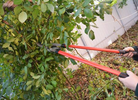 Rose pruning in late autumn. Prune Climbing Roses.