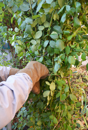 Mound and tie rose bush. Pruning climbing roses. Shelter roses for winter Stock Photo