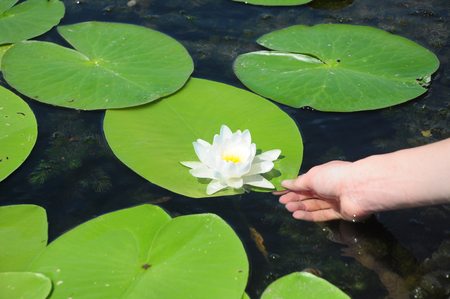Nymphaea alba, also known as the European white water lily, white water rose or white nenuphar with women hand.