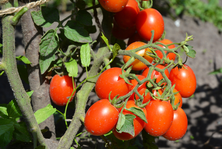 Cherry tomatoes ins the garden. Cherry tomatoes are one of the easiest veggies to grow.