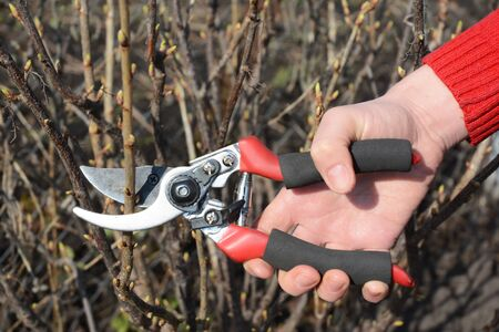 Gardener hand cut blackcurrant (Ribes nigrum) branch with bypass secateurs. Stock Photo