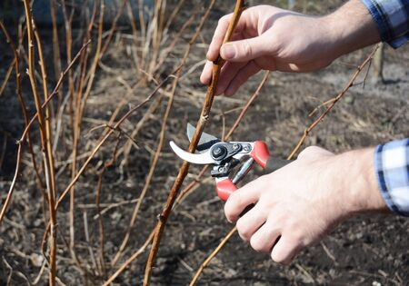 Farmer hand cutting red raspberry plant bush with bypass secateurs.