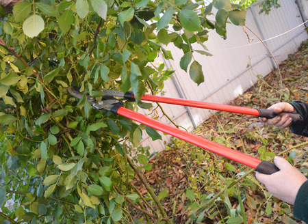 Gardener with garden tools  pruning Rose. Prune Climbing Roses. How to Prune Roses Bush. Stock Photo
