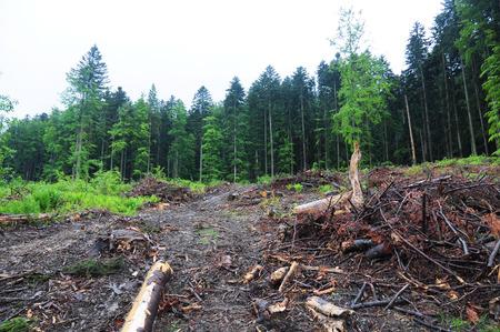 Abholzung in der Ukraine, Europa. Baumstumpf nach Entwaldung.