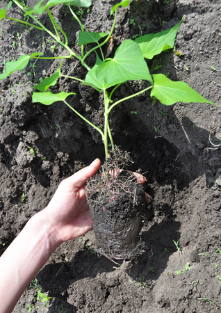 How to Plant and Grow Sweet Potatoes. Growing Sweet Potatoes. Sweet potatoes come in two forms: vining and bush varieties. Yams. Both types thrive in the hot summer sun and are relatively easy to grow Stock Photo