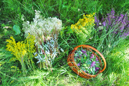 Herbs Gathering. Herbal Plants. Hypericum perforatum, yellow bedstraw, St John's wort, Galium verum, Red Clowers , Filipendula ulmaria, meadowsweet is commonly used to make a sweet-tasting herbal tea.