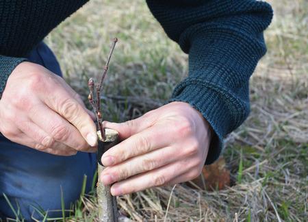Enten fruitboom. Sluit omhoog op de hand van de tuinmanmens het enten appelboom. Enten fruitbomen stap voor stap.