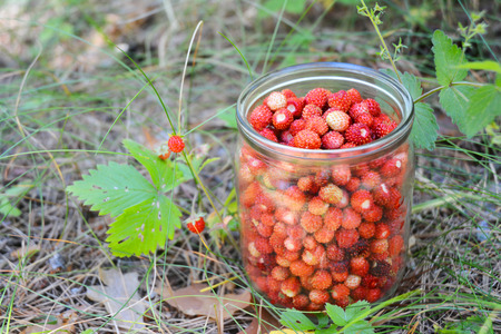 Fragaria vesca, commonly called wild strawberry, woodland strawberry, Alpine strawberry or fraisier des bois in preserving glass. Gathering Strawberries Harvest. Stock Photo