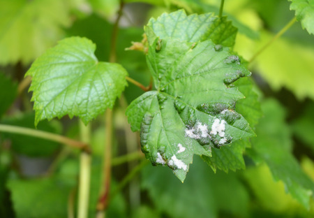 Grape Powdery Mildew. Grapevine diseases. Downy Mildew (Plasmopara vitikola) is a fungal disease that affects a wide range of plants.  Stock Photo