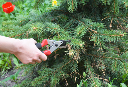 Pruning Blue spruce.Gardener cut tree branch with bypass secateurs after sun scald on evergreen tree.