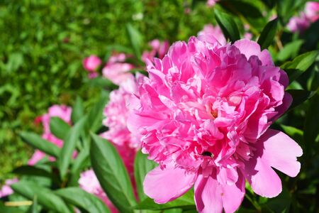 The peony or paeony is a flowering plant in the genus Paeonia.