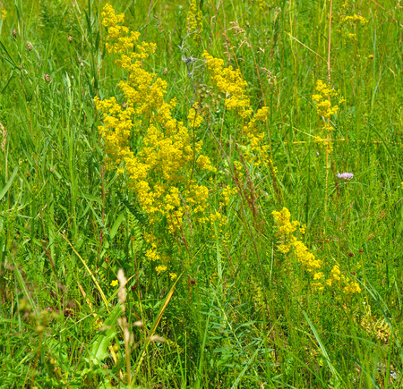 Galium verum or ladys bedstraw or yellow bedstraw is a herbaceous perennial plant of the family Rubiaceae. Herbal Plants. Stock Photo
