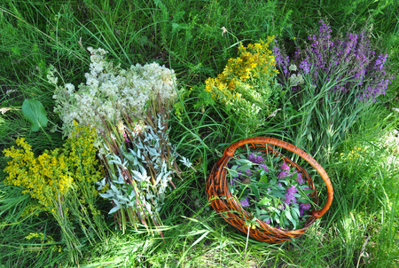 Rassemblez des herbes. Plantes à base de plantes. Hypericum perforatum, punaise jaune, millepertuis, Galium verum, Red Clowers, Filipendula ulmaria, reine des prés sont couramment utilisés pour faire une tisane sucrée. Banque d'images - 91605934