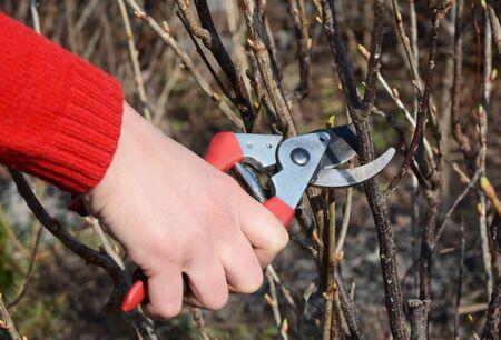Gardener hand cutting blackcurrant bush branch in springtime.