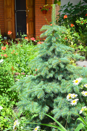 Growing Your Own Christmas Tree in the Garden.