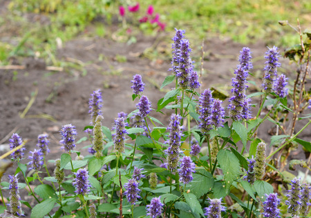 Agastache foeniculum, Agastache anethiodora, commonly called anise hyssop, blue giant hyssop, Fragrant giant hyssop, or the lavender giant hyssop, is a species of perennial plant in the mint family