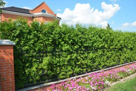 トゥージャ植物から美しい家常緑フェンス。トゥジャ・オクシデンタリス・ブラバントとスマラグドは緑のフェンスです。