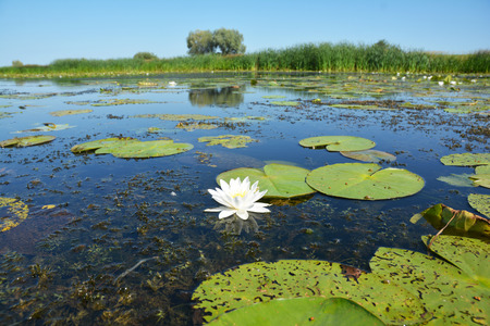Beautiful Nymphaea alba, also known as the European white water lily, white water rose or white nenuphar Stock Photo