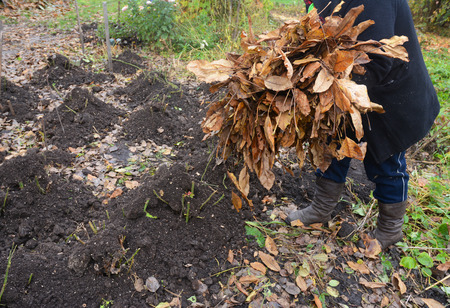 Gardener insulating Garden Roses Bush with Peat and autumn leaves. Garden roses insulation with peat and leaves in autumn.