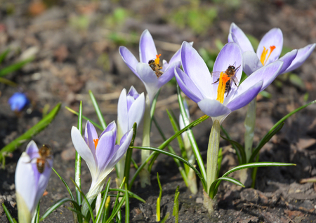 Wild forest spring flowers purple crocus flowers with honey bees stock photo wild forest spring flowers purple crocus flowers with honey bees saffron in the garden purple crocus sativus saffron growing in the garden mightylinksfo