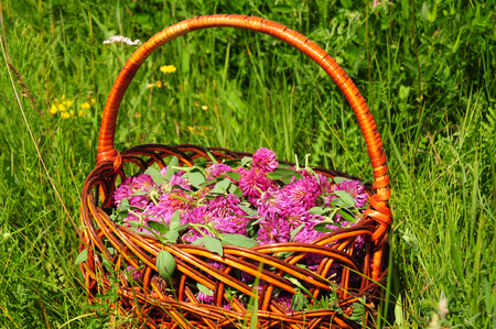 Gather Herbs. Red clover is commonly used to make a sweet-tasting herbal tea. Herb Gathering. Banque d'images