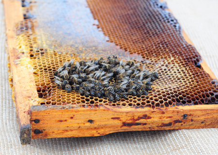 The extinction of honey bees. Beekeepers have been noticing their honeybee populations have been dying off at increasingly rapid rates.  版權商用圖片