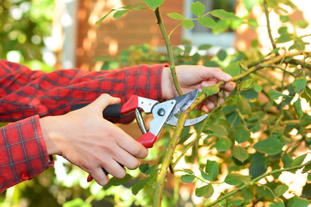 Gardener with garden pruning scissors pruning climbing roses . Pruning and Training Climbing Roses with Garden Pruning Scissors. Pruning climbing roses is a little different from pruning other roses. Foto de archivo