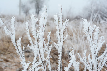 Beautiful hoarfrost on the frozen  bush branches with white fog. Stock Photo