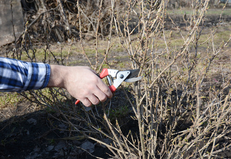 Spring Gardening. Gardener cutting gooseberry (Ribes uva-crispa) bush with bypass secateurs in early spring.