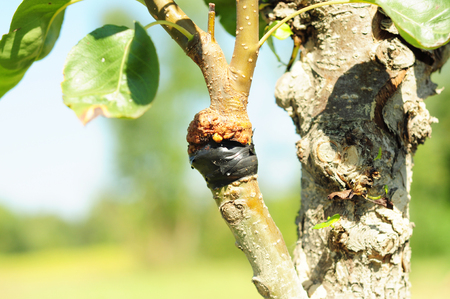 Successful Fruit Tree Pruning. Grafting and budding fruit tree.