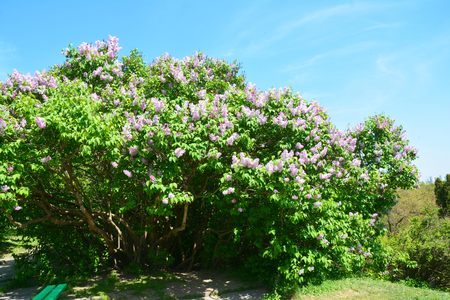 Purple lilac flowers with copy space. Blooming bush of purple lilacs in spring Stock Photo