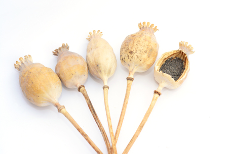 Dried poppy heads with pile of poppy seeds isolated on white background