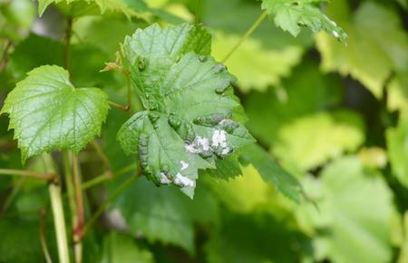Grapevine diseases. Downy Mildew (Plasmopara vitikola).