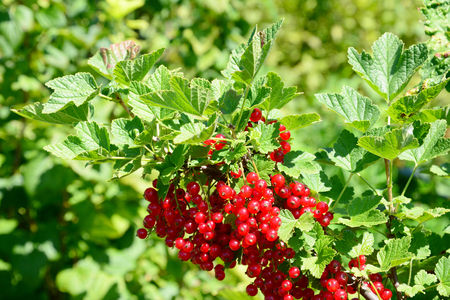 Harvesting berries in the garden. Harvesing redcurrant.
