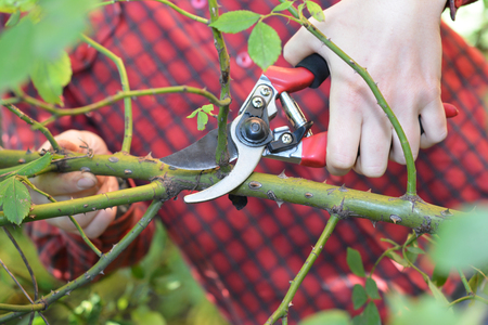 Gardener  hands with garden pruning scissors pruning climbing roses.