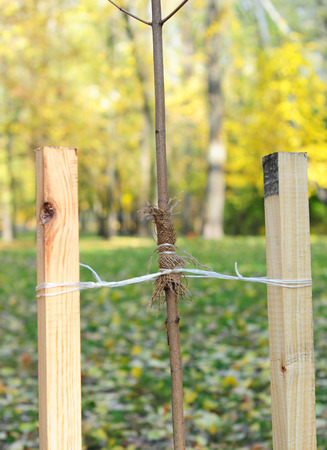 Planting a tree correctly with two stakes. If your tree is still a sapling, use a stakes to help it grow for about the first year of its life. Standard-Bild