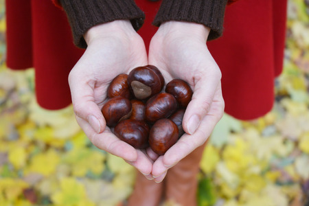 Horse-chestnut (Aesculus) in woman hands. Fresh chestnuts harvest in hands.