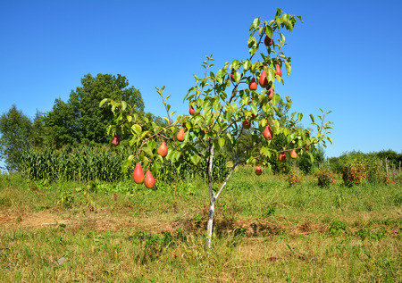 Growing red sweet pears on the pear tree.