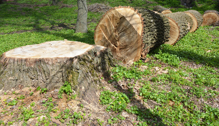 Cutted tree. Cutting a tree with a chainsaw. Фото со стока